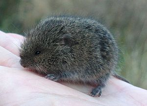 Microtus levis? from Luhanshchyna.jpg