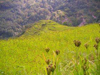 Chloridoideae - Finger millet (Eleusine coracana) in Nepal