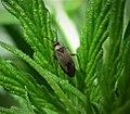 Miridae . Tribe- Phylini. Plagiognathus arbustorum . (35116611154).jpg