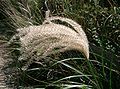 Miscanthus sinensis3.jpg