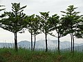 Misty Mountains through Trees - Nakafurano - Hokkaido - Japan (48006119412).jpg