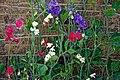 Mixed sweet peas 'Lathyrus odoratus' at Boreham, Essex, England 2.jpg