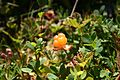 Molte - Rubus chamaemorus.jpg