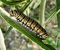 Monarch Caterpillar. (Danaus plexippus) - Flickr - gailhampshire (1).jpg