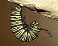 Monarch Transition 1 (3577603018).jpg
