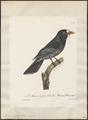 Monasa morphaea - 1825-1834 - Print - Iconographia Zoologica - Special Collections University of Amsterdam - UBA01 IZ16800009.tif