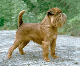 Small Dog Breed With Floppy Ears And Beard