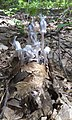 Monotropa uniflora in Kittery, Maine2.jpg