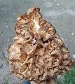 Morel mushroom (guchichi).jpg