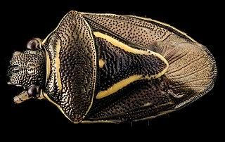 <i>Mormidea</i> genus of insects