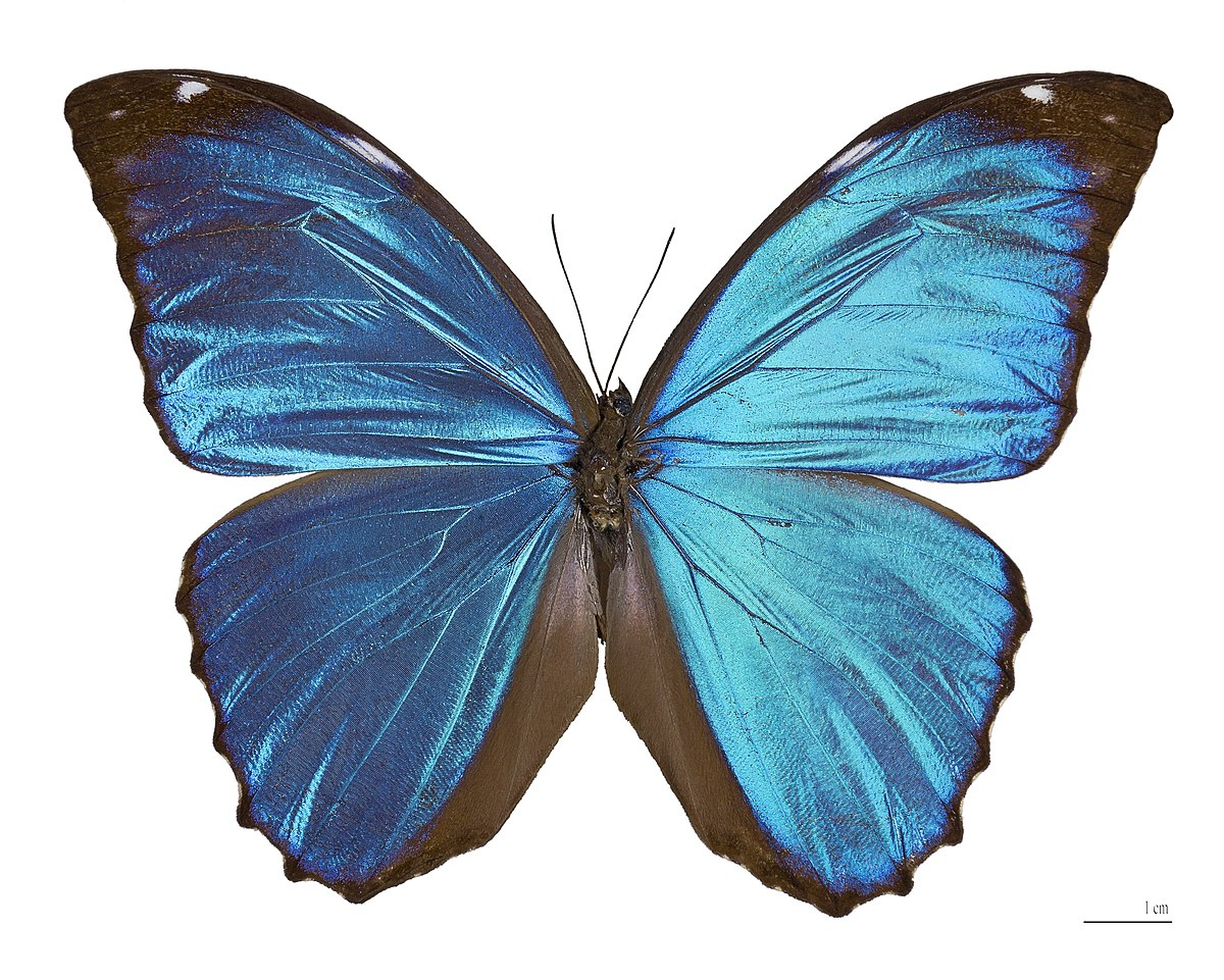95 Three Blue Butterflies Isolated On White Stock Photo Picture And Stunning Blue Butterflies