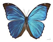 Morpho menelaus huebneri MHNT Male Dos.jpg