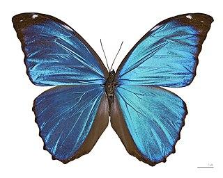 <i>Morpho menelaus</i> Species of butterfly