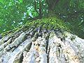 Mosses on the trees 1.JPG