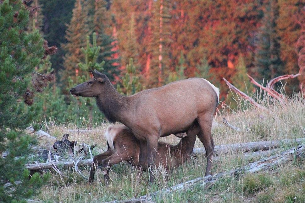 Mother Elk Nursing Her Calf