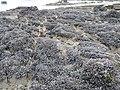 Moules sauvages sur la grève de Jospinet.jpg
