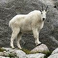 Mountain Goat, Enchantments Basin.jpg