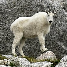 Mountain Goat, Enchantments Basin.jpg