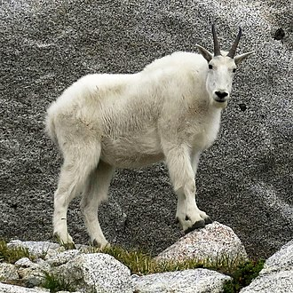 Mountain goat - Mountain goat in the Cascades