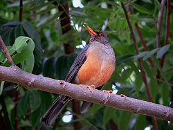 Mountain thrush.jpg