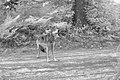 Mt. Emily wolf (17086825637).jpg