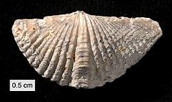 Mucrospirifer mucronatus Silica Shale.JPG