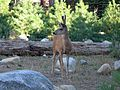 Mule Deer at Sequoia National Park - Flickr - GregTheBusker (1).jpg