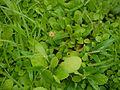 Murdannia ¿ species ? (8070833264).jpg