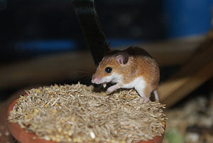 African pygmy mouse - African pygmy mouse eating