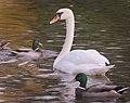 Mute swan (37177503243).jpg