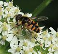 Myathropa florea - Flickr - S. Rae (2).jpg