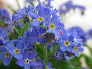 <i>Myosotis sylvatica</i> Species of flowering plant in the borage family Boraginaceae