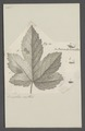 Myzoxylus - Print - Iconographia Zoologica - Special Collections University of Amsterdam - UBAINV0274 042 08 0017.tif