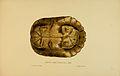 N186 Sowerby & Lear 1872 (trachemys decussata).jpg