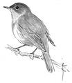 Nachtegaal Luscinia megarhynchos Jos Zwarts 5.tif