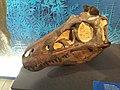 Nanotyrannus lancensis, moulage de crâne, exposition Un T-Rex à Paris, Muséum national d'histoire naturelle.jpg