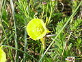 Narcissus bulbocodium bulbocodium1.jpg