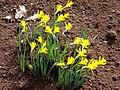 Narcissus muñozii-garmendiae.jpg