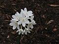 Narcissus papyraceus 'Paperwhite' 02.JPG