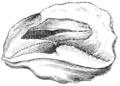Natural History - Mollusca - Mouth of Tritonia.png