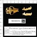 Naturalis Biodiversity Center - RMNH.MAM.24736.a pal - Macroderma gigas - skull.jpeg