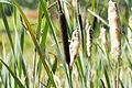 Naturschutzgebiet Elmpter Schwalmbruch Sommer 2015 -8736.jpg
