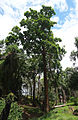 Nauclea orientalis.jpg