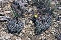 Navajoa peeblesiana ssp fickeiseniorum fh 051 AZ BB.jpg