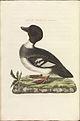 Nederlandsche vogelen (KB) - Bucephala clangula (312b).jpg