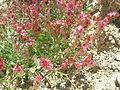 Negev Unknown Plant, Large Makhtesh Crater, Negev Desert, Israel (469185193).jpg