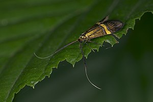 Nemophora degeerella, Lodz(Poland)10(js).jpg