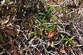 Nepenthes gracilis in habitat.jpg