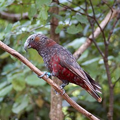 Nestor meridionalis -Karori Wildlife Sanctuary, Wellington, New Zealand-8.jpg