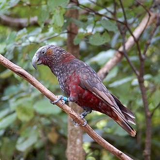 New Zealand kaka - Image: Nestor meridionalis Karori Wildlife Sanctuary, Wellington, New Zealand 8